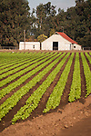 Gray barn and lettuce field rows, Salinas Valley, Calif.