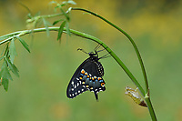 Black Swallowtail (Papilio polyxenes), butterfly expanding wings after  emerging from chrysalis on Parsley (Petroselinum crispum), Hill Country, Central Texas, USA