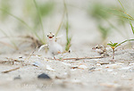 Least Terns (Sterna antillarum)  two chicks near nest, one begging for food, Nickerson Beach, Long Island, New York, USA