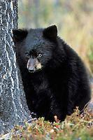 Very young black bear cub, Fall, Rocky Mts.