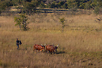 Sanga Cattle (Bos taurus) pair being herded through grassland, western Zambia