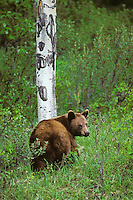 Black Bear (Ursus americanus)--cinnamon color phase.  Spring.  Northern Rockies.