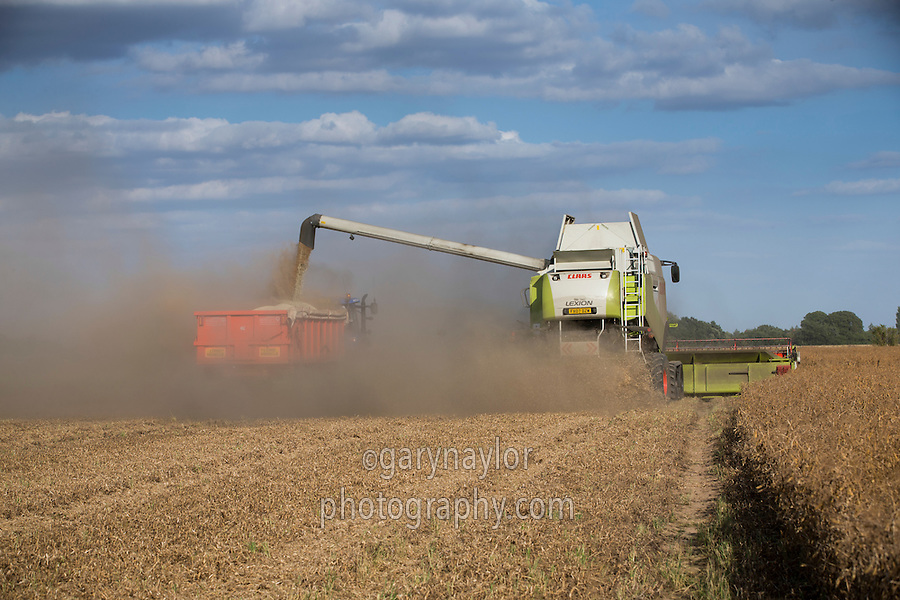 Harvesting combinable peas - August, South Lincolnshire