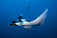 Manta ray and scuba diver, Manta birostris, Egypt, Red Sea, Brother Islands, Northern Africa