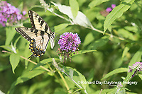 03023-03115 Eastern Tiger Swallowtail (Papilio glaucaus) on Butterfly Bush (Buddleja davidii) Marion Co. IL