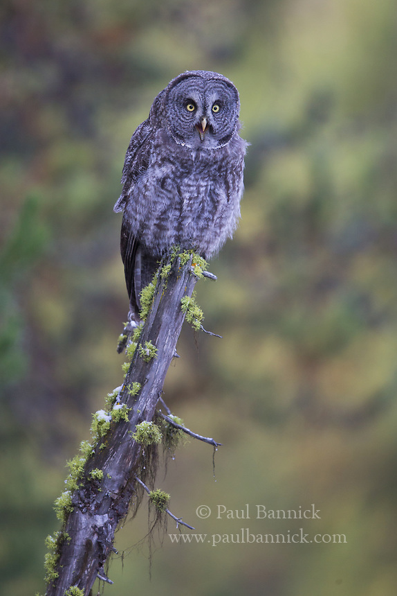 A Juvenile Great Gray Owl begs in home of receiving food from its parent.