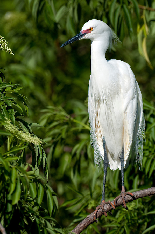 Snowy Egret perched in a tree in Florida with breeding plumage. Scientific name Egretta thula.