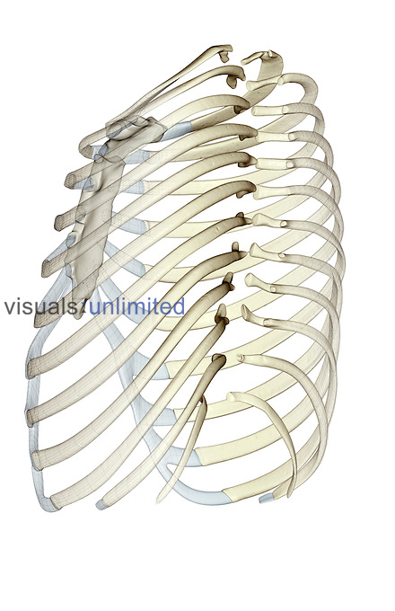 A anterolateral (left side) view of the ribs. Royalty Free