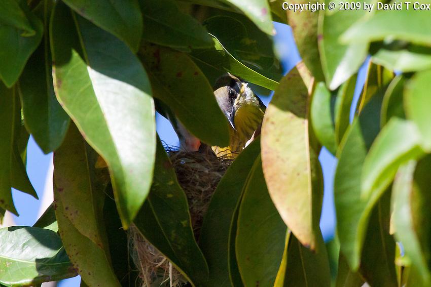 Varied Honeyeater  (per Bruce Knight) at nest, Cairns Esplanade, Queensland, Australia