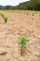 Domaine de l'Hortus. Pic St Loup. Languedoc. Vine leaves. Young vines. First year vines recently newly planted. Terroir soil. France. Europe. Vineyard. Sand.
