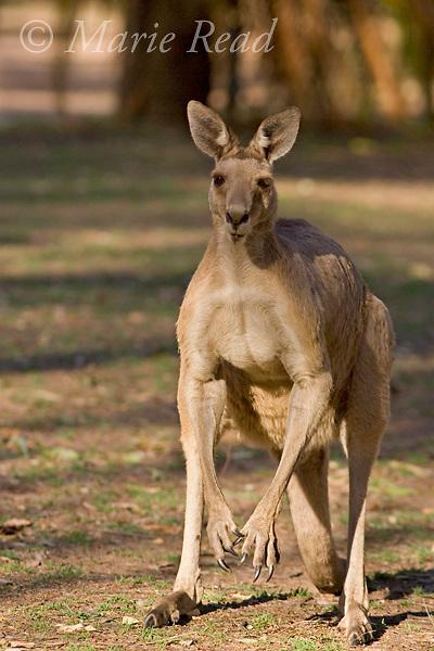 Eastern Grey Kangaroo (Macropus giganteus), adult male, Carnarvon Gorge National Park, Queensland, Australia
