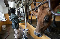 A cow named Lovey (CQ) is being milked at the Estrella Family Creamery in Montesano,Wash.  on November 4, 2010.  Every cow has a name on the farm. The Food and Drug Administration ordered the Estrella Family Creamery in Montesano,Wash.  to stop processing cheeses after it found listeria bacteria on some of the cheeses this year.  The family says they have made many renovations on the farm and the bacteria is only found on the soft cheese, not everything.  They believe they should be allowed to resume making cheese and sell the hard cheeses they have already made at the facility.  The creamery is one of Washington's most famous artisan cheesemakers.  (photo credit Karen Ducey). .