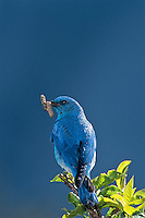 Male Mountain Bluebird (Sialia currucoides) bringing insect back to nest.  Western U.S., June.