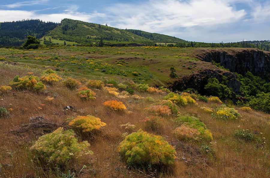 Columbia Desert Parsley, Balsamroot, and Lupine flowers grow in a grassy meadow along the Columbia River Gorge in Oregon.