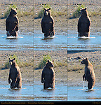 Alaskan Coastal Brown Bear Standing, Searching for Salmon, Silver Salmon Creek, Lake Clark National Park, Alaska