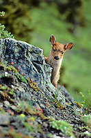 Very young Black-tailed deer fawn (Odocoileus hemionus) on subalpine hillside, Pacific Northwest, summer.