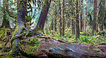 Moss-laden Sitka spruce (Picea sitchensis), Hoh Rain Forest, Olympic National Park, Washington, USA<br /> <br /> Canon EOS 5DS R, EF24-70mm f/4L IS USM lens, f/14 for 30 seconds, ISO 100