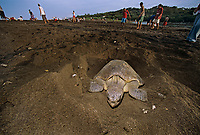 "Olive Ridley Turtle ( Lepidochelys olivacea ) building nest to lay eggs during Arribada ""Arrival"", Ostional - Costa Rica, Pacific Ocean"