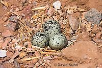 0510-1116  Killdeer Eggs in Ground Nest, Charadrius vociferus  © David Kuhn/Dwight Kuhn Photography
