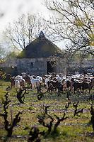 Europe/Europe/France/Midi-Pyrénées/46/Lot/Rocamadour: Le Troupeau de chêvres de  Marc Villard éleveur , à la ferme de la Borie d'Imbert qui produit des fromages de chêvre Rocamadour AOC - le troupeau et en fond une caselle , ancienne cabane de berger en pierre sèche en premier plan les vignes du vignoble de Rocamadour _ Vin de pays du Lot