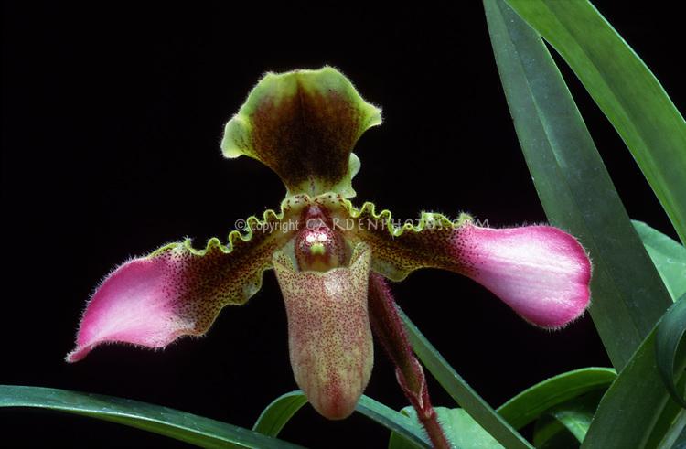 Paphiopedilum hirsutissimum, orchid species, tropical lady's slipper