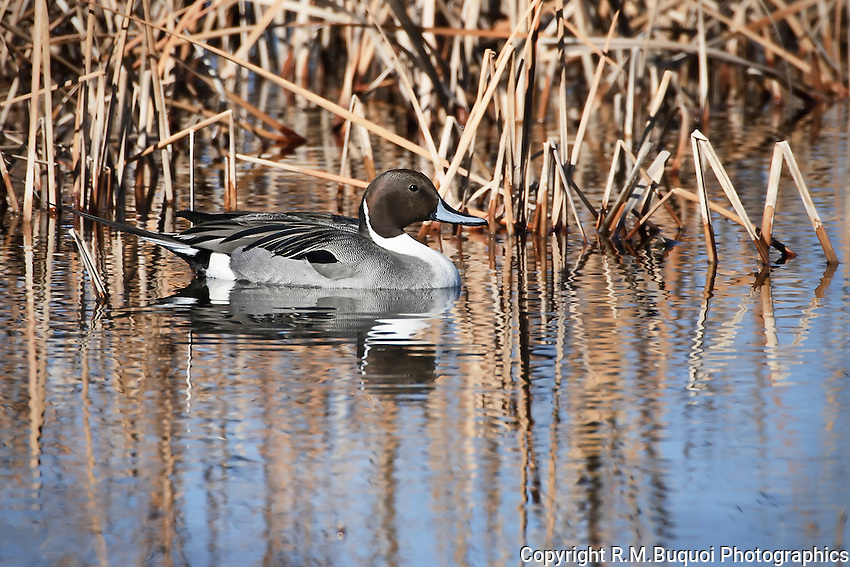 Northern Pintail on water