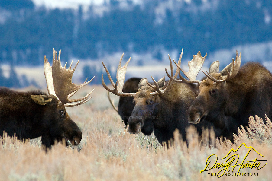 Three Bull moose, the committee, Grand Teton National Park