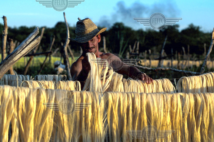 A man dries sisal leaves.