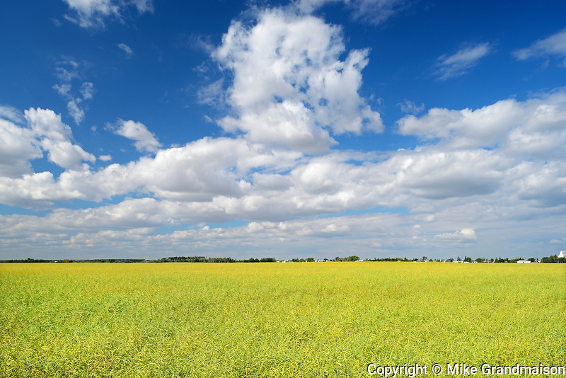 Canola crop and clouds<br />