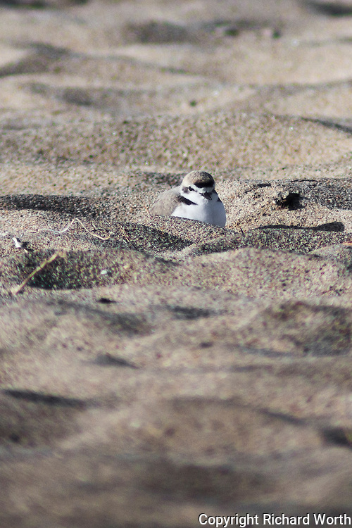 Only the size of a sparrow, the western snow plover is on the threatened species list.  This is one of a half dozen crouced into holes in the sand, often the footprints of beach visitors, at Pigeon Point Lighthouse State Historic Park on California's Central Coast south of San Francisco.