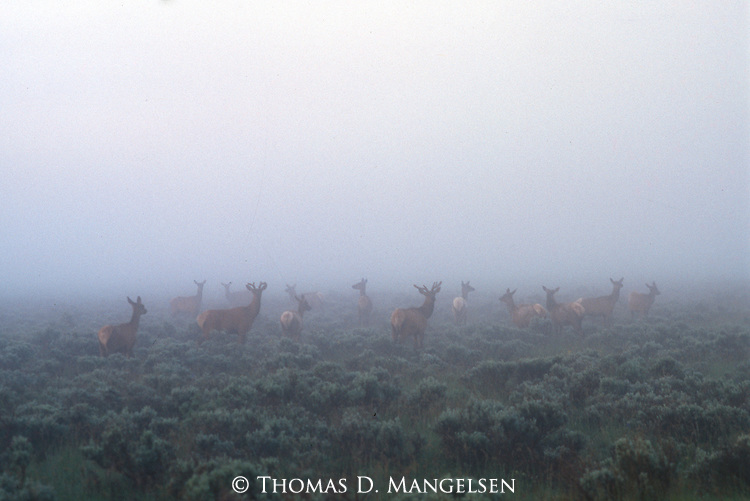 A herd of elk stand in the fog rising off the Snake River in Grand Teton National Park, Wyoming.