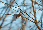 Black capped chickadee flying. Junco.