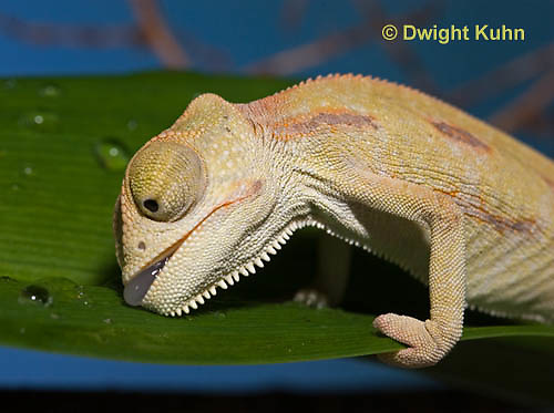 CH47-780z  Veiled Chameleon three month old young drinking water from leaf, Chamaeleo calyptratus