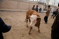 Cows for sale arrive at the Kashgar Sunday Animal Market in Kashgar, Xinjiang, China.