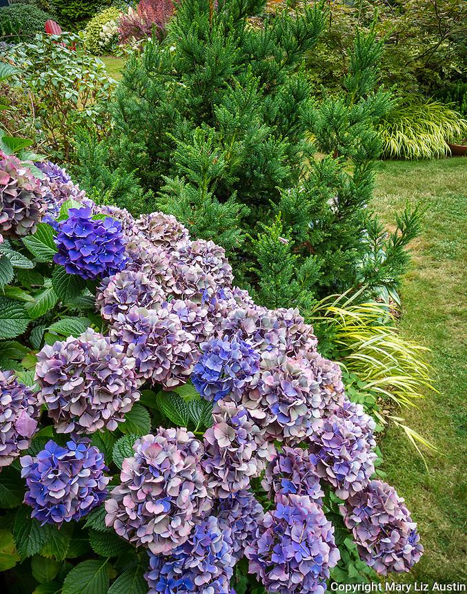 Vashon-Maury Island, WA: Summer perennial garden featuring hydrangea macrophylla and japanese cedar (Cryptomeria japonica 'Black Dragon')
