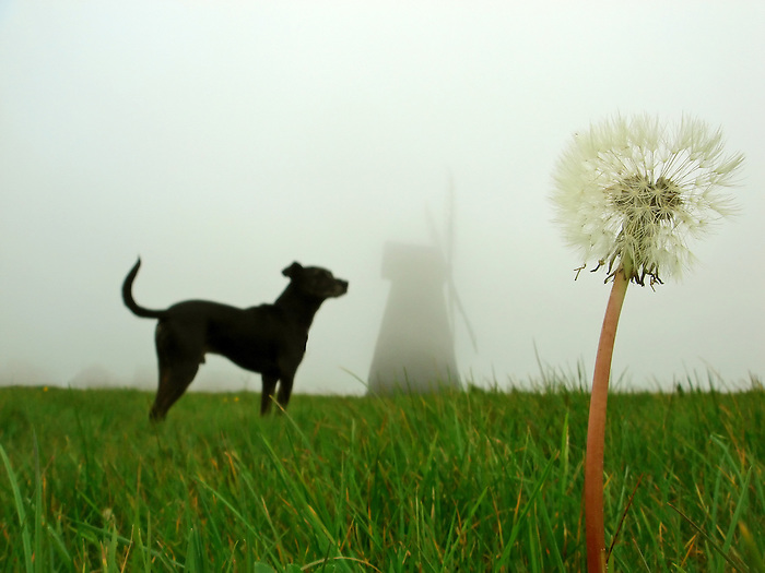 A dog in a foggy field, with a dandelion clock and a windmill. East Sussex. England 2007.