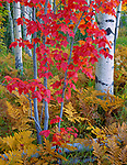 Chequamegon National Forest, WI<br /> Detail of maple, birch and ferns in fall color