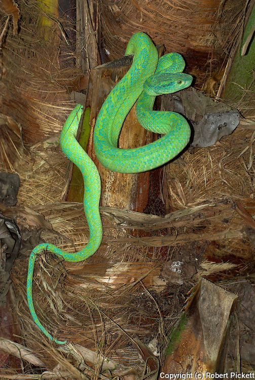 Honduran Palm Pit Viper Snake, Bothriechis marchi, Green and relatively slender with a prehensile tail, Honduras and eastern Guatemala, venemous, coiled on palm tree.Central America....