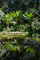 Reflections of large leaves in Lily Lake at Hawai'i Tropical Botanical Garden, Onomea, Big Island of Hawaiʻi.