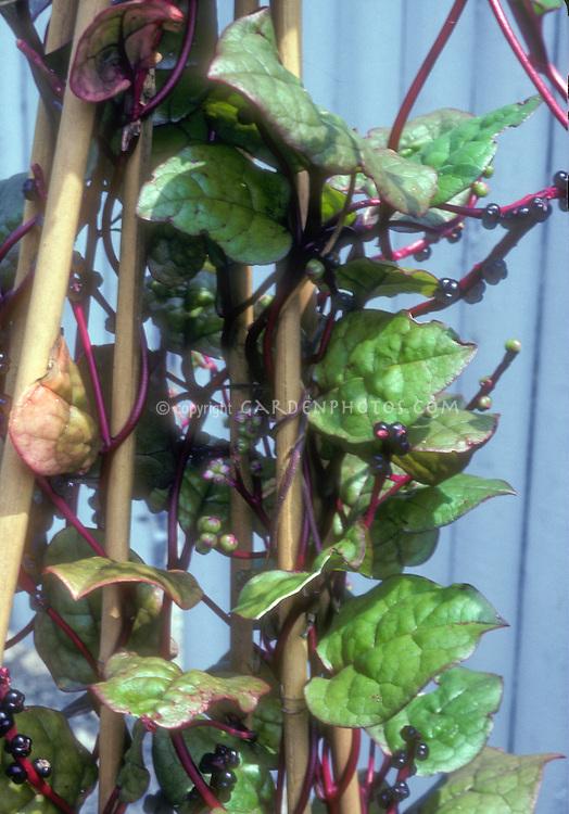 Cilmbing Spinach Malabar on trellis in vegetable garden