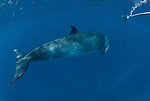Dwarf minke whale passing a snorkler holding on the minke line of the Undersea Explorer (Balaenoptera acutorostrata)