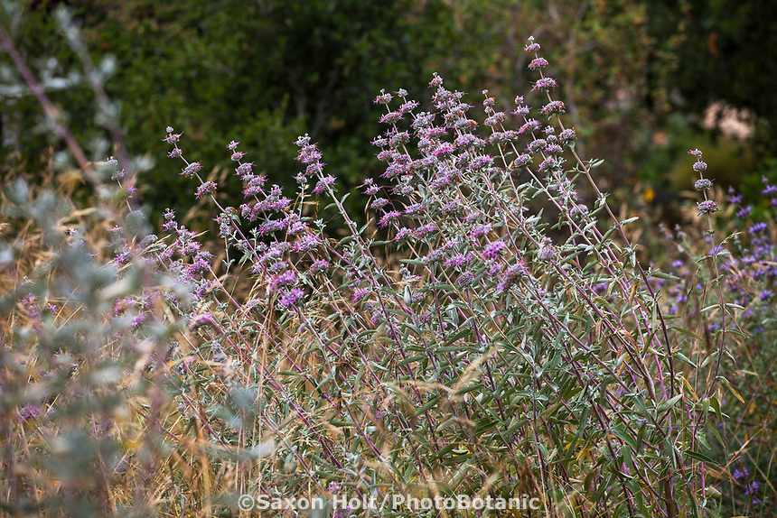 Salvia clevelandii 'Winnifred Gilman' California Blue Sage, California native perennial sage flowering in summer-dry garden Santa Barbara California