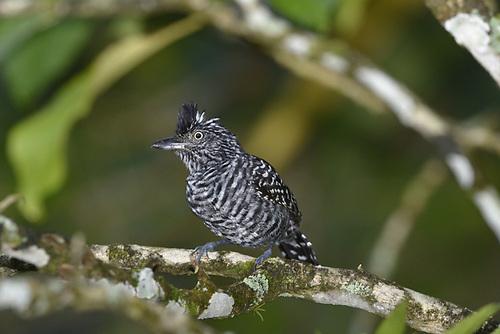 Barred Antshrike - Thamnophilus doliatus - male