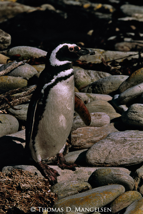 Portrait of Magellanic penguin standing on a rocky shore in the Falkland Islands.