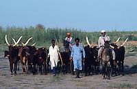 Azawak breed of cows