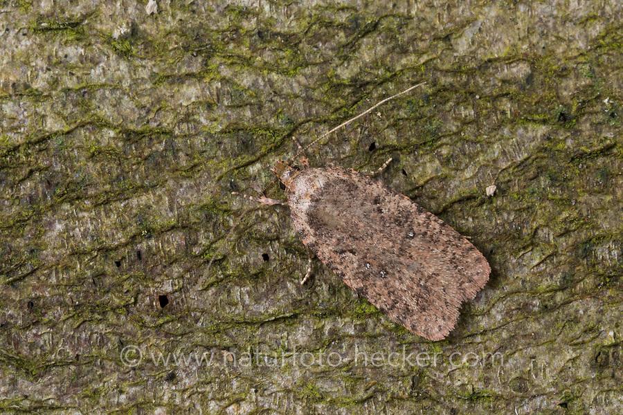 Flachleibmotte, Grasminiermotte, Agonopterix spec., Elachistidae, Flachleibmotten, Grasminiermotten