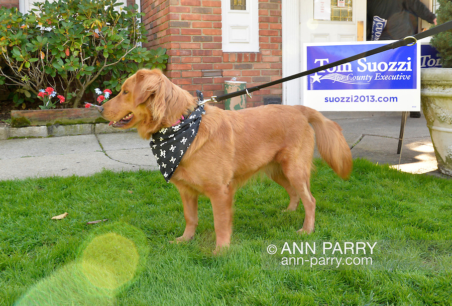 Albertson, New York, U.S. 26th October 2013. Molly Malone, a golden retriever mix dog, is with her family outside the Albertson Veterans of Foreign Wars VFW Post after New York Governor Cuomo endorses Suozzi for Nassau County Executive. Democrat Suozzi, the former Nassau County Executive, and Republican incumbent Mangano face each other in a rematch in the upcoming November 5th election.
