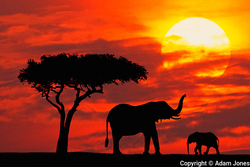 Female African Elephant with baby at sunrise,.Masai Mara Game Reserve, Kenya, Africa.Digital Composite