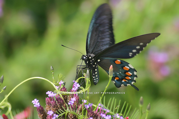 Butterfly In Motion, Pipevine Swallowtail Nectaring On Brazilian Verbena, Battus Philenor