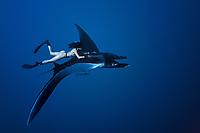 freediver with manta ray, Manta birostris, Mexico